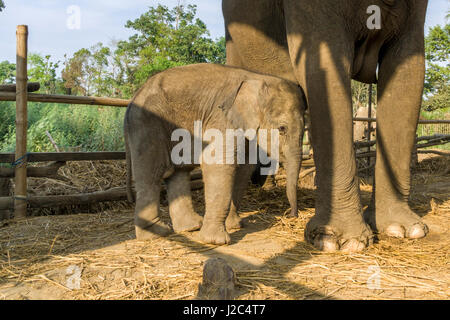 An elephant (Elephas maximus indicus) mother and baby are standing in a stable in the Elephant Breeding Centre in - Stock Photo