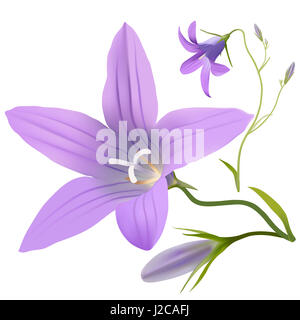 Bell flower - Campanula patula. Hand drawn digital illustration of purple wildflowers in realistic style, on white - Stock Photo