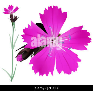 Dianthus carthusianorum. Hand drawn digital illustration of magenta colored wildflowers in realistic style, on white - Stock Photo