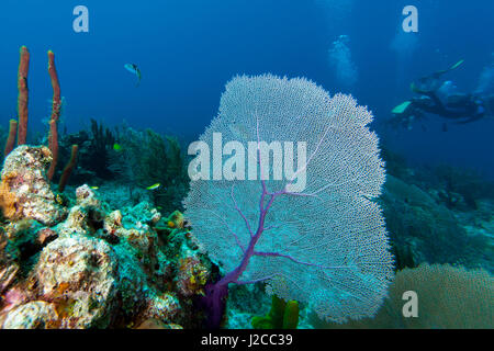 Purple sea fan (Gorgonia ventalina) with divers in background - Stock Photo