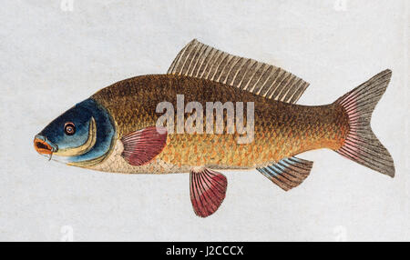 Common carp (Cyprinus carpio), handcoloured copper engraving from Friedrich Justin Bertuch Picture book for children - Stock Photo