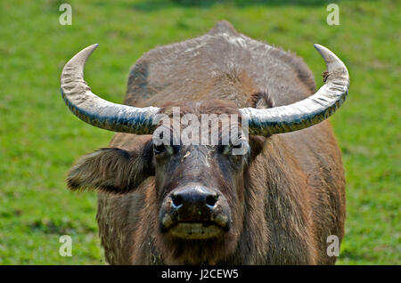 Once used as draft animals in rice paddies, water buffalo roam the former paddies as feral domestic wildlife, often - Stock Photo