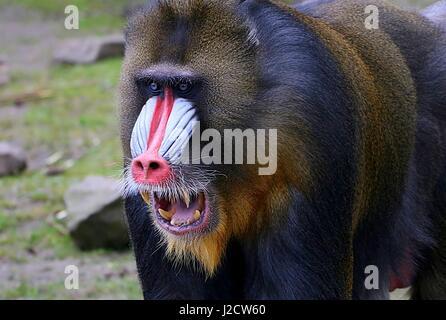 Growling mature alpha male Mandrill monkey (Mandrillus sphinx) - Stock Photo