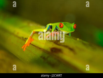 The red eyed tree frog (Agalychnis callidryas) on a banana plant climbing upwards inside Tortuguero national park - Stock Photo