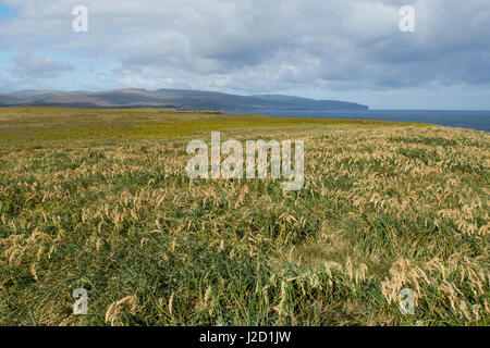 New Zealand, Auckland Islands, uninhabited archipelago in the south Pacific Ocean, Enderby Island. Tussac grass - Stock Photo