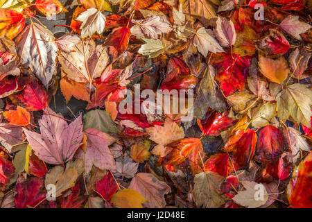 A bright mix of colorful leaves lie on the ground, moistened by recent rain in Autumn.  Leaves are mostly maples - Stock Photo