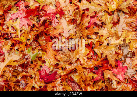 Leaves lie on the ground moistened by recent rain in Autumn.  Leaves are mostly oak in shades of rust and orange - Stock Photo