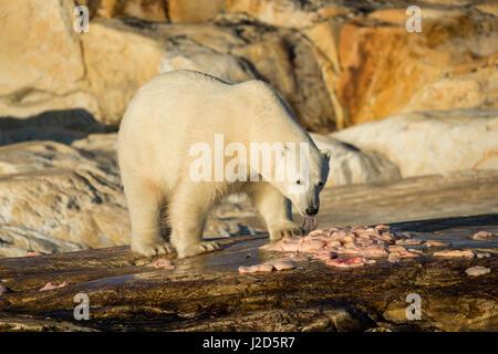 Canada, Nunavut Territory, Polar Bear feeding on remains of Beluga Whale killed by Native hunters along Hudson Bay - Stock Photo