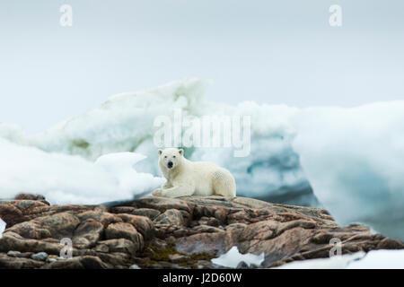 Canada, Nunavut Territory, Repulse Bay, Polar Bear (Ursus maritimus) resting on rocky shoreline of Harbor Islands - Stock Photo
