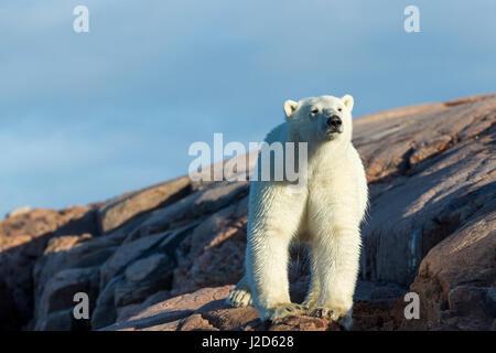 Canada, Nunavut Territory, Repulse Bay, Polar Bear (Ursus maritimus) standing on rocky shoreline at sunrise along - Stock Photo