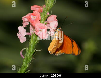 Orange Julia Longwing or Julia Butterfly (Dryas iulia) feeding on a flower. Ranging from the USA to Bolivia, including - Stock Photo