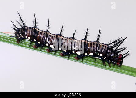 Spiky and exotic caterpillar of the Orange Julia Longwing or Julia Butterfly (Dryas iulia)  Ranging from the USA - Stock Photo