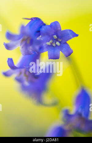common bluebell against a yellow background - Stock Photo