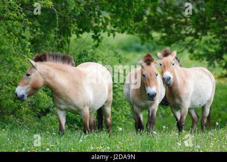 Three Przewalski's horses during spring - Stock Photo