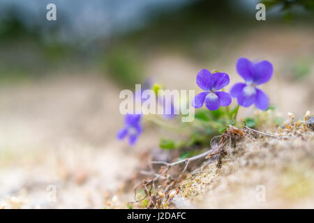 Heath Dog-violet (Viola canina) in the dunes - Stock Photo