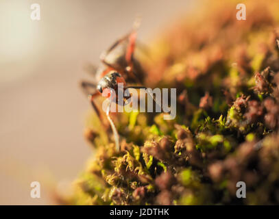 Black ants on a moss photographed close