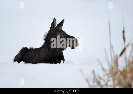 Moose / Elch ( Alces alces ) in its first winter, young calf, resting, lying, ruminating in snow, looks cute and - Stock Photo