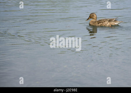 Female mallard duck swimming on lake, wild fauna Stock Photo