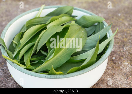 Freshly harvested wild garlic leaves in a bowl - Stock Photo