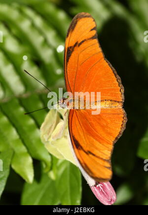 Neotropical Orange Julia Longwing or Julia Butterfly (Dryas iulia) feeding on a flower. Ranging from Southern USA - Stock Photo
