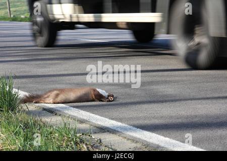 run over beech marten at roadside - Stock Photo