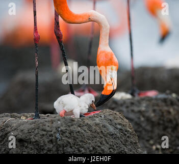 Caribbean flamingo on a nest with chicks. Cuba. An excellent illustration. - Stock Photo