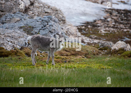 Norway, Svalbard, Spitsbergen, Trygghamna Fjord, Alkhornet on the northern side of the mouth of Isfjord. Svalbard - Stock Photo