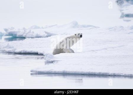 Arctic, Norway, Svalbard, Spitsbergen, pack ice, polar bear (Ursus maritimus) Thin male polar bear. - Stock Photo