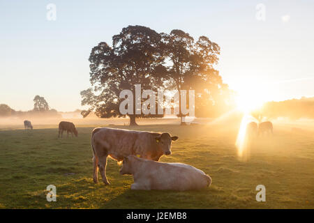 Cows in field, sunrise, Usk Valley, South Wales, UK - Stock Photo