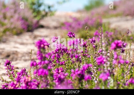 Heather (Calluna vulgaris) in flower in summer - Stock Photo
