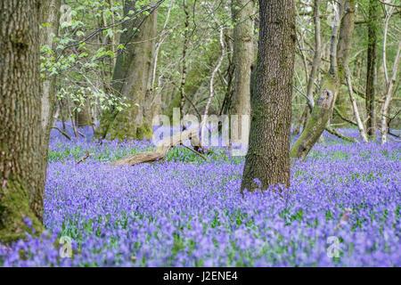 Bluebell Wood (Hyacinthoides non-scripta), Surrey , England - Stock Photo