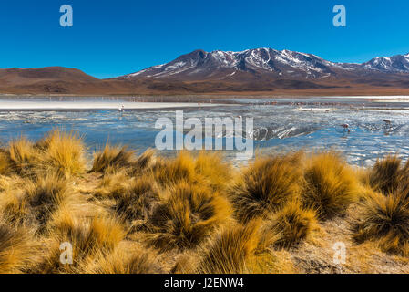 Andes grass and a high altitude lake with andes and Chilean flamingos in the Andes mountain range of Bolivia in - Stock Photo