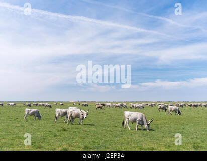 Hungarian Grey Cattle (bos primigenus hungaricus), old and hardy rare cattle breed grazing in the Puszta of the - Stock Photo