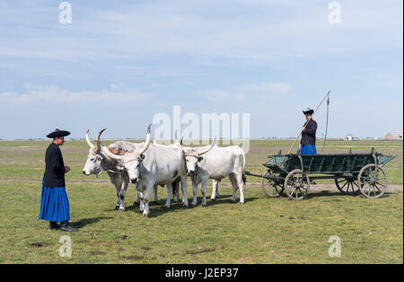 Hungarian Grey Cattle (bos primigenus hungaricus), old and hardy rare cattle breed, Hungary (Large format sizes - Stock Photo