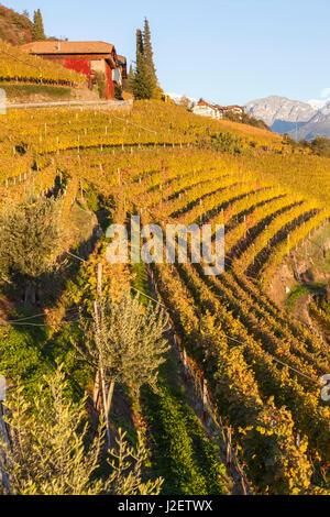 Vineyards near Bolzano, Trentino-Alto Adige, Suedtirol, Italy - Stock Photo
