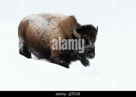 American bison / Amerikanischer Bison ( Bison bison ), adult, walking through deep snow, Yellowstone National Park, - Stock Photo