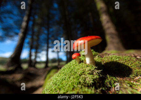 vomiting russula in a small spruce forest at the foot of the Black Cuillins mountains - Stock Photo