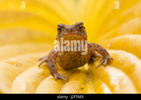 Young Common Toad (Bufo bufo) on yellow leaf - Stock Photo