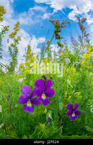 Purple colour form of the mountain pansy - Stock Photo