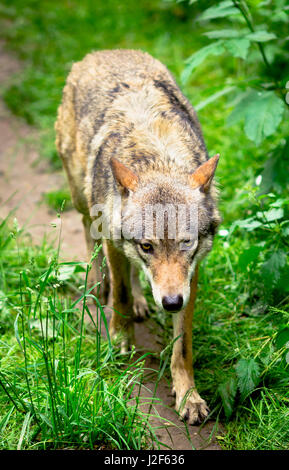 Wolf running in forest  - Stock Photo