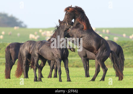 Friesian horses (Equus ferus caballus) - Stock Photo