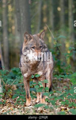 frontal photo of an European wolf - Stock Photo