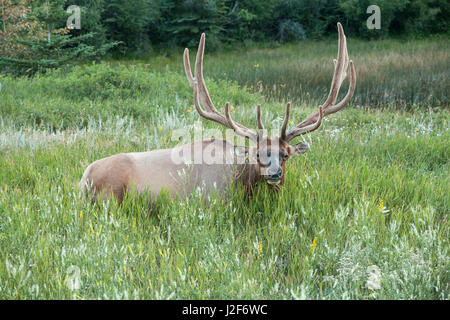 Wapiti bull is ruminating in the grass after sunset - Stock Photo