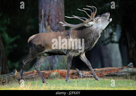 A rutting red deer - Stock Photo