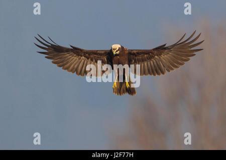 Adult female Western Marsh Harrier (Circus aeruginosus) hovering - Stock Photo