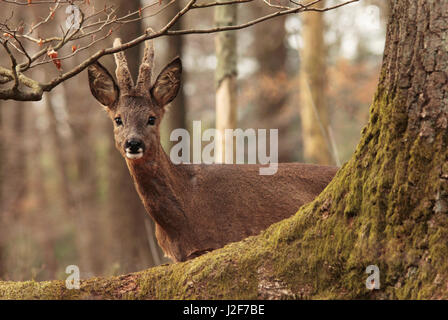Roe deer in a forest, early spring - Stock Photo