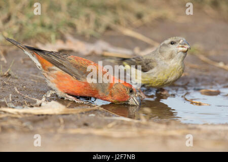 Male and female Parrot Crossbill drinking at a pond - Stock Photo