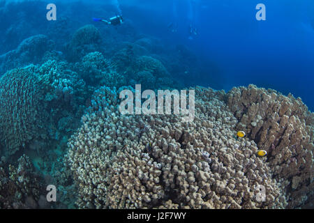 Scuba diver seemingly flies over mountainous corals in the Red Sea off the coast of Southern Egypt. - Stock Photo