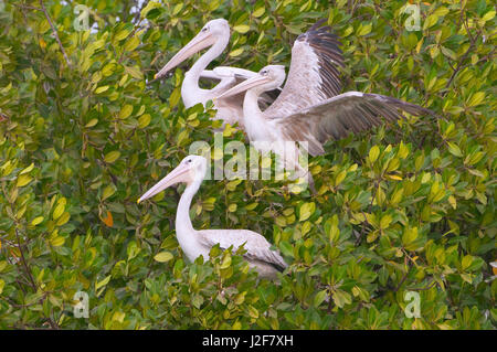 Pink-backed Pelicans in a mangrove tree - Stock Photo
