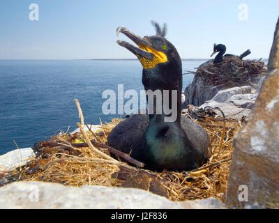 common shag, breeding. Phalacrocorax aristotelis, Farne Island, United Kingdom - Stock Photo